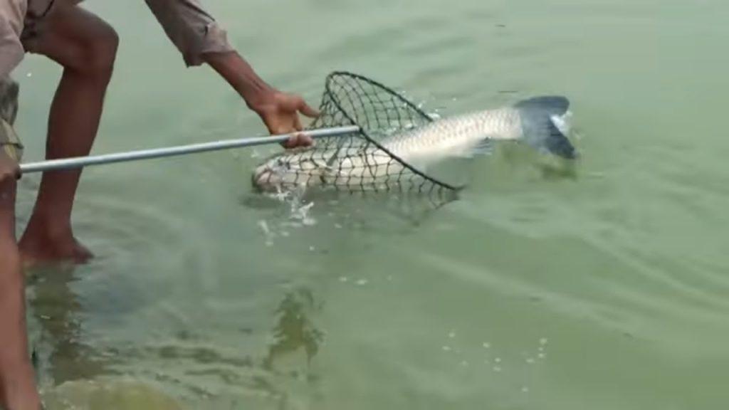 mồi câu cá trắm
